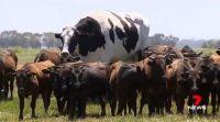 Bővebben: Akkorára nőtt Ausztrália legnagyobb marhája, hogy nem is lehet levágni