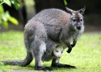 Bővebben: Ausztráliában láttam-e Kengurut!?