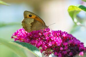 b_300_300_16777215_00_images_stories_Szep_Termeszet_butterfly-3709569_960_720.jpg