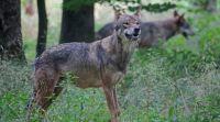 Bővebben: Nem tágítanak a szekér mögül a farkasok Csíkmenaságon