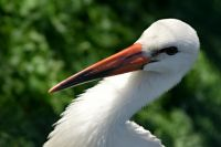 Bővebben: Elindult haza az első jeladós fehér gólya - te is követheted az útját