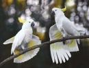 papagaly2