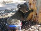 Koala képek a victoriai tûzek után