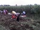 Krumpliszedés Gálospetrin 2010