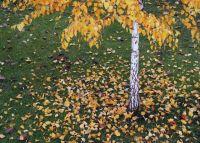 Bővebben: A nyírfa