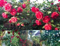 Bővebben: Rózsák a szászvárosi kertben