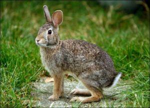 b_300_300_16777215_00_images_stories_Szep_Termeszet_rabbit.jpg
