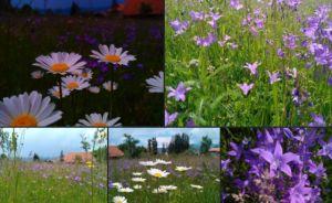 b_300_300_16777215_00_images_stories_Szep_Termeszet_viragokmedard.jpg